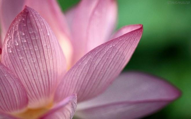 Flor-de-Lotus--111527_1920x1200